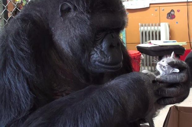 İşaret Diliyle İletişim Kurabilen Efsane Goril Koko 46 Yaşında Öldü
