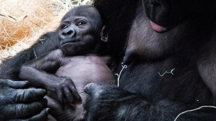 Bebek Goril 'Ali' Dünyaya Merhaba Dedi