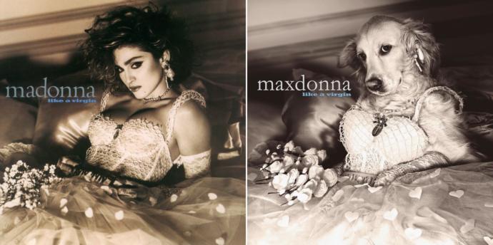 Madonna'nın Albümü Varsa, Maxdonna'nın da Var: Madonna'nın Albüm Kapaklarını Yeniden Canlandıran Tatlı Köpek!