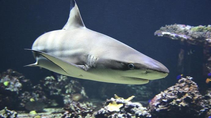 Köpek Balığını 'Bebek Kılığına' Sokup Çalmaya Çalıştılar