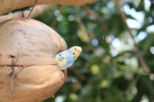 Hindistan cevizi şeklinde kuş yuvası