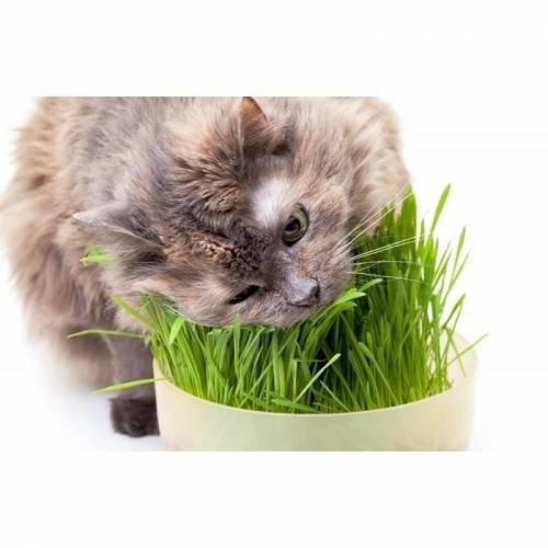 Gardenmix Büyük Kutu Kedi Çimi