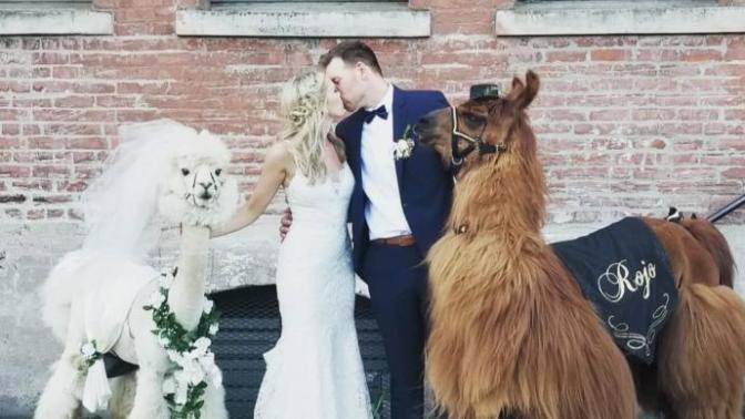 ABD'den Gelen Yeni Trend: Lamalar İle Beraber Düğün Fotoğraf Çekimi!