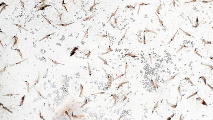 Genetiği Değiştirilmiş Sivrisinekler Sıtma Mikrobuna Karşı Doğaya Bırakılacak