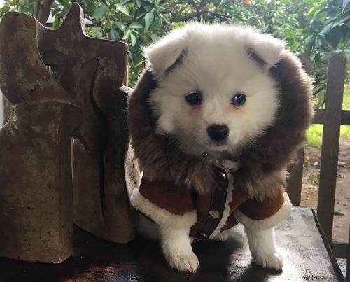 Pegia Hakiki Kürklü Kapşonlu Köpek Ceket