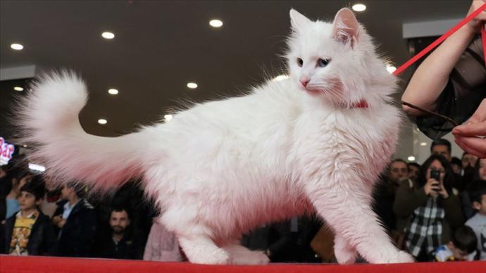 İşte En Güzel Van Kedisi (Foto Haber)