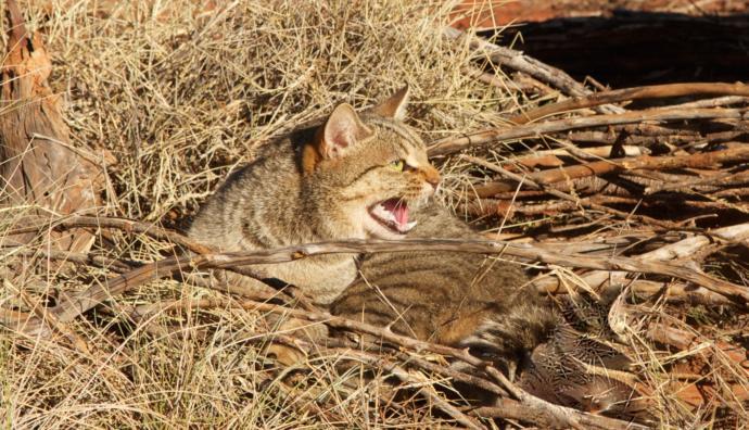 2 Milyon Kediyle Başı Dertte Olan Avustralyalılar Çareyi Kedileri Zehirlemekte Buldu!
