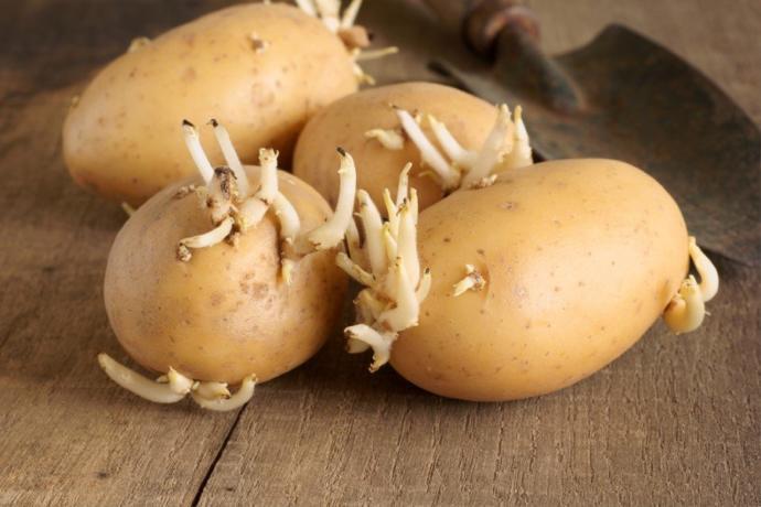 Bu Patateslere Dikkat! (Zehirleyerek Ölüme Yol Açabiliyor)