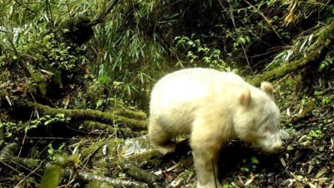 Albino Panda Çin'de İlk Kez Görüntülendi (Tamamen Beyaz)