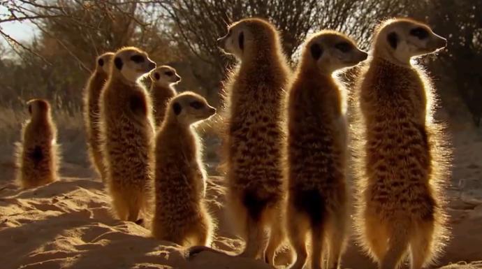 Vahşi Doğanın Büyük Üçkağıtçısı: Drongo Kuşu!