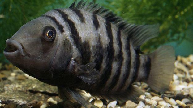 İnsanlar Gibi Aşk Acısı Çeken Canlı: Dişi Zebra Balığı!