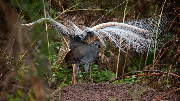 Doğanın Ses Kaydedicisi: Lir Kuşu!