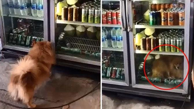 Antalya'da Sıcaklardan Bunalan Köpek Çareyi İçecek Dolabına Girmekte Buldu (Video Haber)