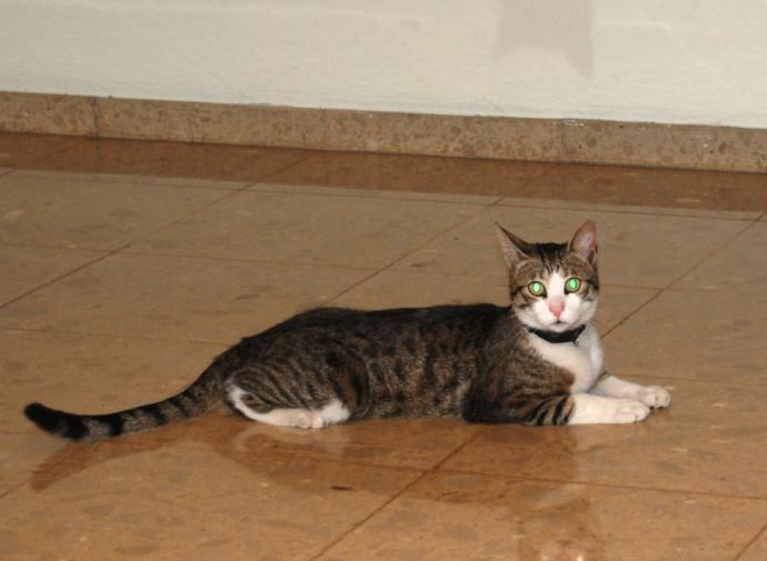 Kedi Çeşitleri ve Özellikleri