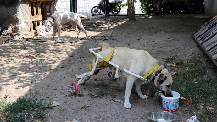 Yürüyemeyen Köpeğe Plastik Borularla Yürüteç Yapıldı