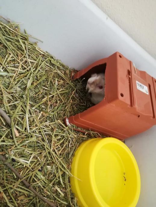 Guinea Pig: Dünya'nın En Masum Canlısı ve Evde En Kolay Bakılabilecek Memeli Hayvanı!