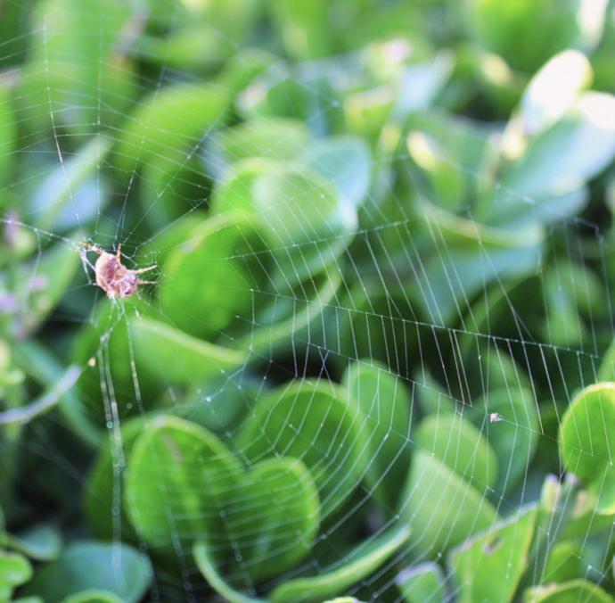 Örümcek ve Ağı (Gümüşhane)