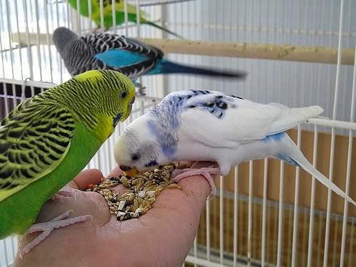 Muhabbet Kuşu Bakım Rehberi