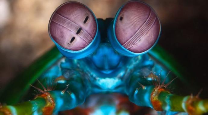 En Güçlü Yumruğun Sahibi Mantis Karidesi Özellikleri Nelerdir?