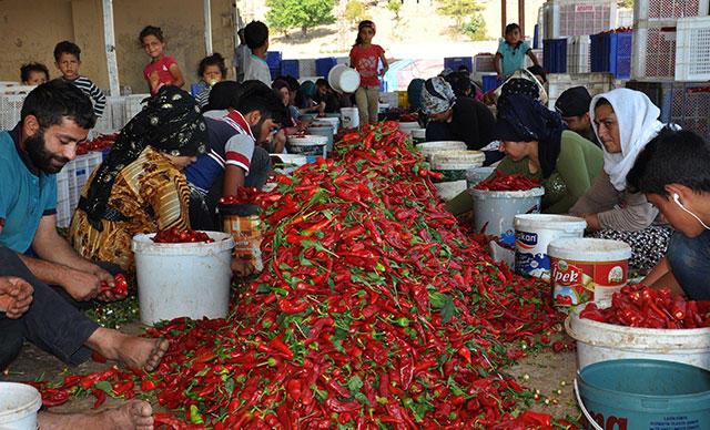 İki Şehir Karşı Karşıya: Kırmızı Toz Biber, Gaziantep'in mi, Kahramanmaraş'ın mı?
