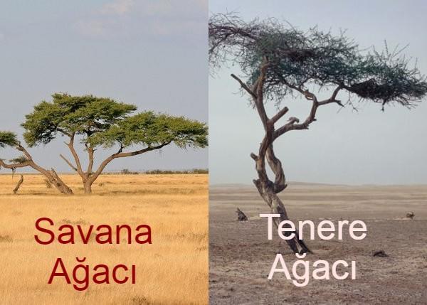 Savana Ağacı dediğimiz şey Akasya ağacıdır aynı zamanda.