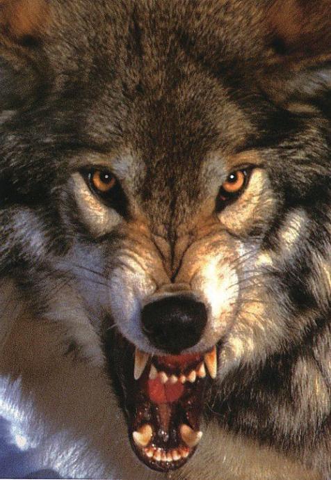 Geceleri ulurlar, etrafta bir kurt olup olmadığını anlamanızın en kolay yollarından biri budur.