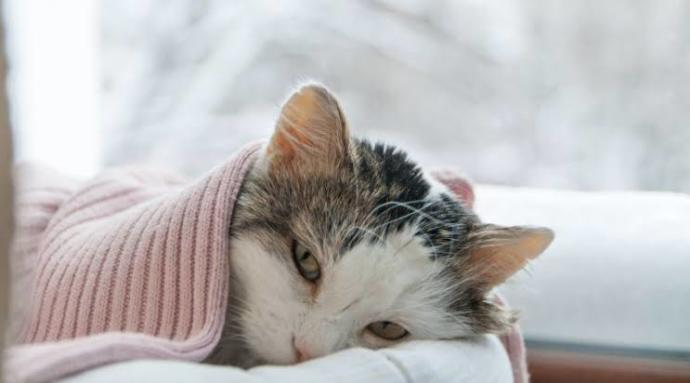 FIP (Feline Infectious Peritonitis) Hastalığı hakkında tüm detaylar