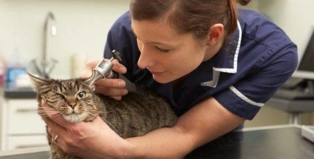 Evcil Kedilerin ve Sahiplerinin Korkulu Rüyası, FIP (Feline Infectious Peritonitis) Hastalığı!