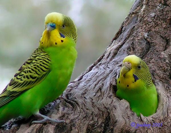 Muhabbet Kuşunu Konuşturma!