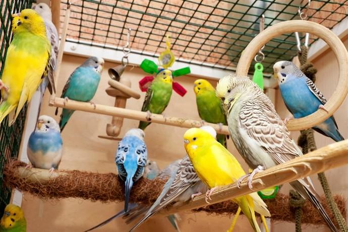 Muhabbet Kuşu Sahiplenmek İsteyenlerin Bilmesi Gerekenler!