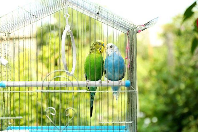 Muhabbet Kuşlarında Nezle: Belirtileri, Nedenleri ve Tedavisi!