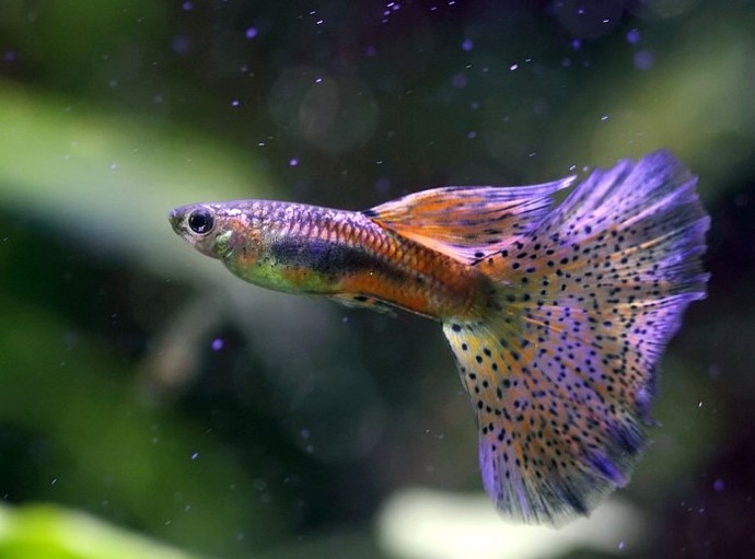 Evde Bakılabilecek Akvaryum Balıkları!