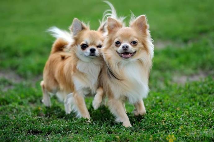 Apartmanda Beslenmeye Uygun Köpek Cinsleri!