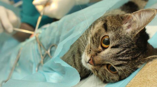 Kedilerde Kısırlaştırma Ameliyatı Hakkında Merak Edilenler!