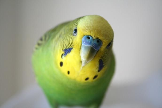 Muhabbet Kuşunu Konuşturmak İsteyenlerin İşine Yarayacak Bilgiler!