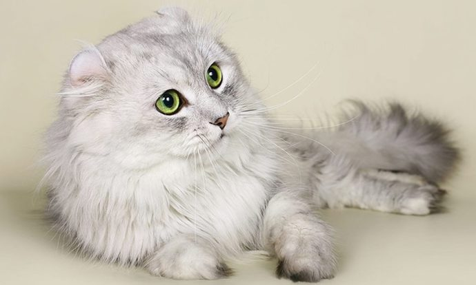 Apartmanda Beslenmeye Uygun Kedi Cinsleri!