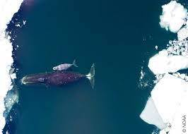 kutup balinası