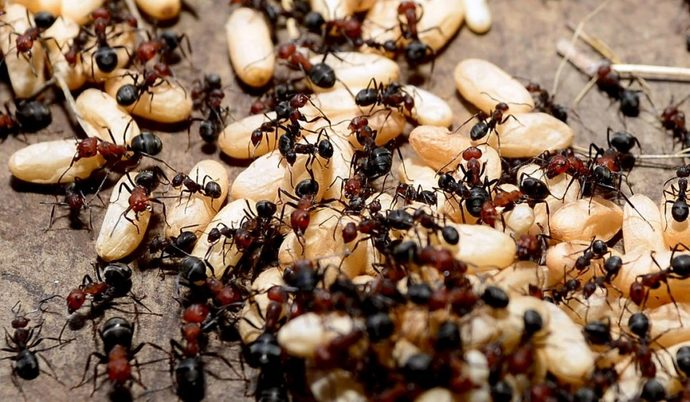 erkek karınca
