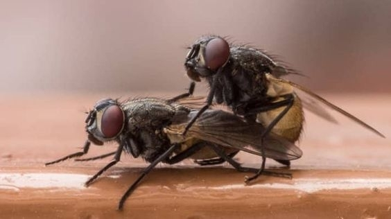 kara sinek