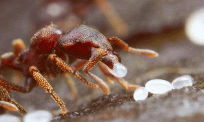 Son Zamanların Popüler Yağı: Karınca Yumurtası Yağını Deniyorum!