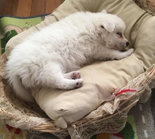Japon Spitz yavru köpek