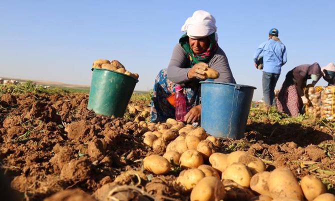 patates ithal edilecek