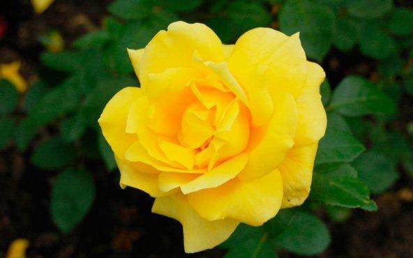 Bahçeye dikmek için ilk tercihiniz hangi renk gül olur?