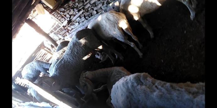 Koyun/keçi sever misiniz?