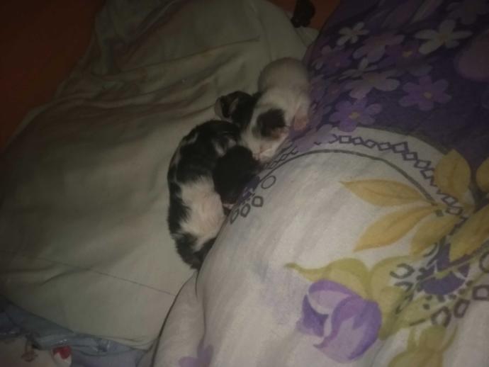 Bir kedinin hamilelik süresi ne kadardır? Önceki yavrusuna neden düşman gibi davranır?