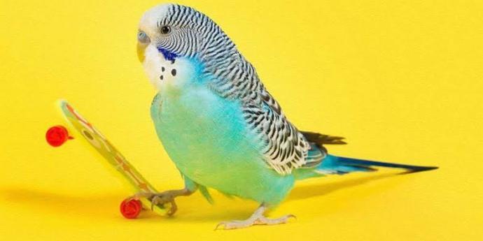 Muhabbet kuşu muhabbet edermi?