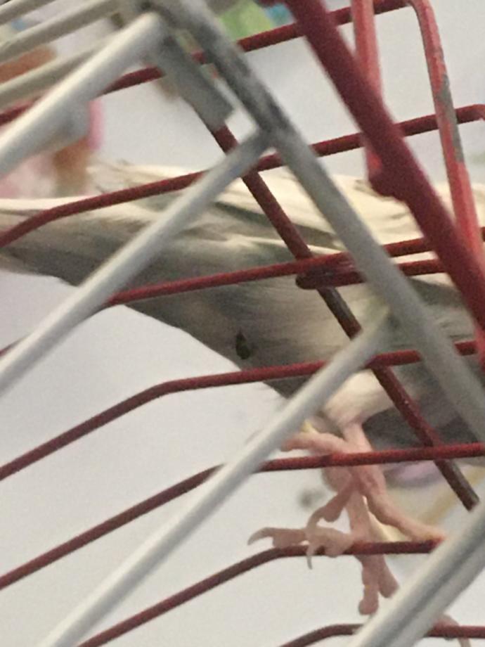 Muhabbet kuşumun poposundaki dışkı?