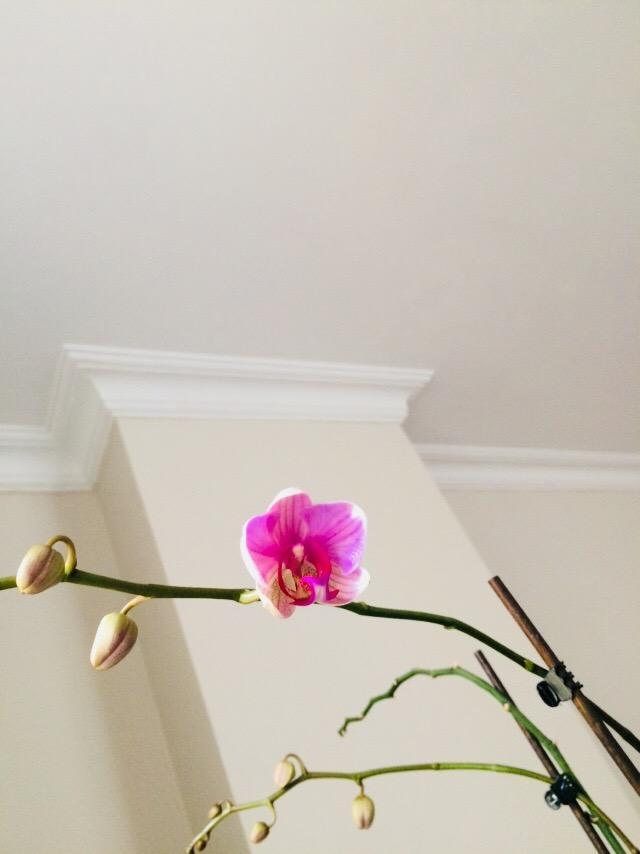 6 ay sonra orkidemiz tekrar açtı; Siz de heyecanla çiçek açmasını beklediniz mi hiç?