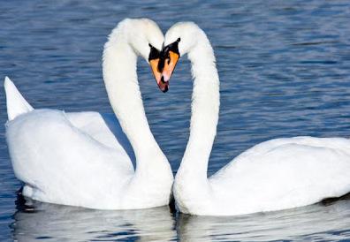 Aşık kuğu kuşları