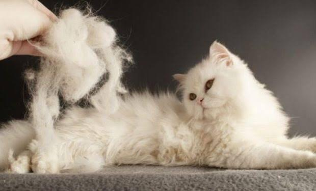 Kedilerde tüy dökülmesi nasıl engellenir?